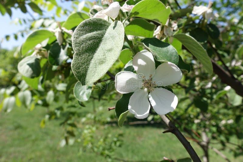 Hoja melenuda y flor blanca del membrillo fotografía de archivo