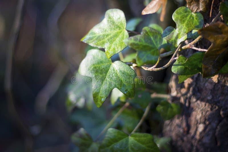 Hoja mojada de la hiedra que crece en un árbol imágenes de archivo libres de regalías
