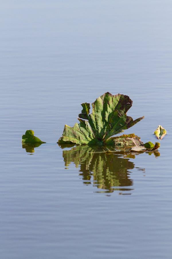 Hoja nativa del lirio del loto reflejada en agua imagenes de archivo