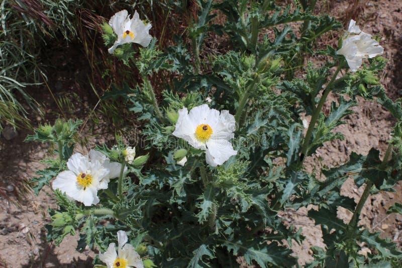 Hoja puntiaguda a del botón amarillo de la flor blanca fotografía de archivo