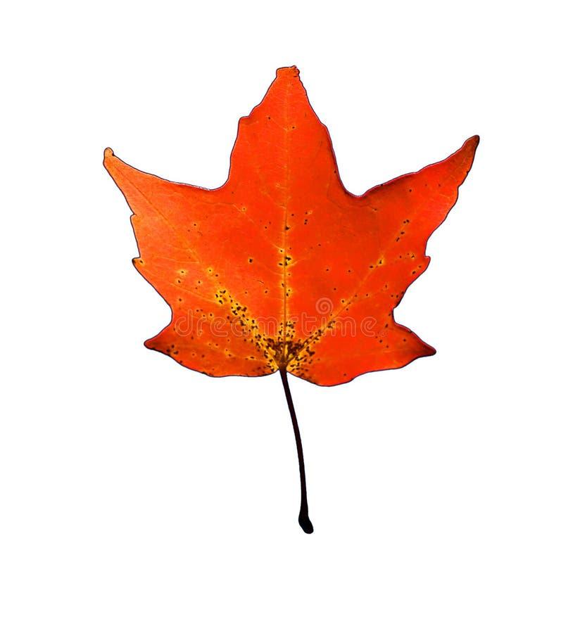 Download Hoja roja foto de archivo. Imagen de otoño, tarjeta, prospecto - 187008