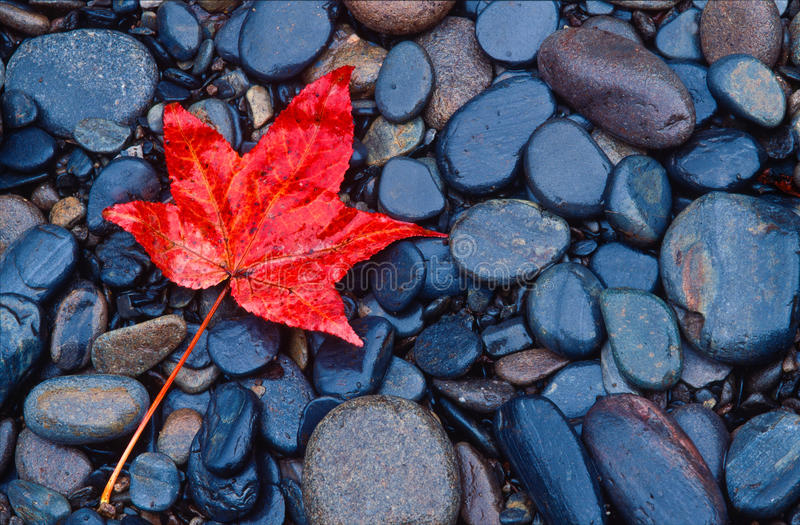 Hoja roja brillante de la caída en rocas del río foto de archivo