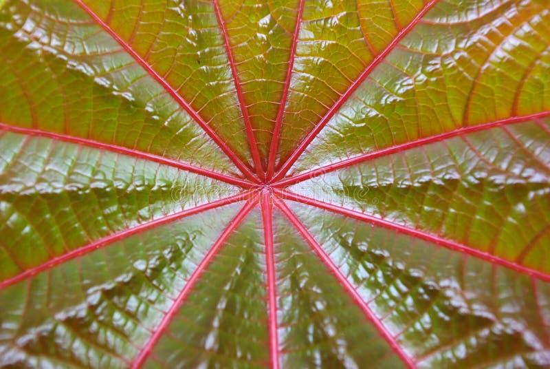 Hoja roja de la textura del palmchrist fotografía de archivo