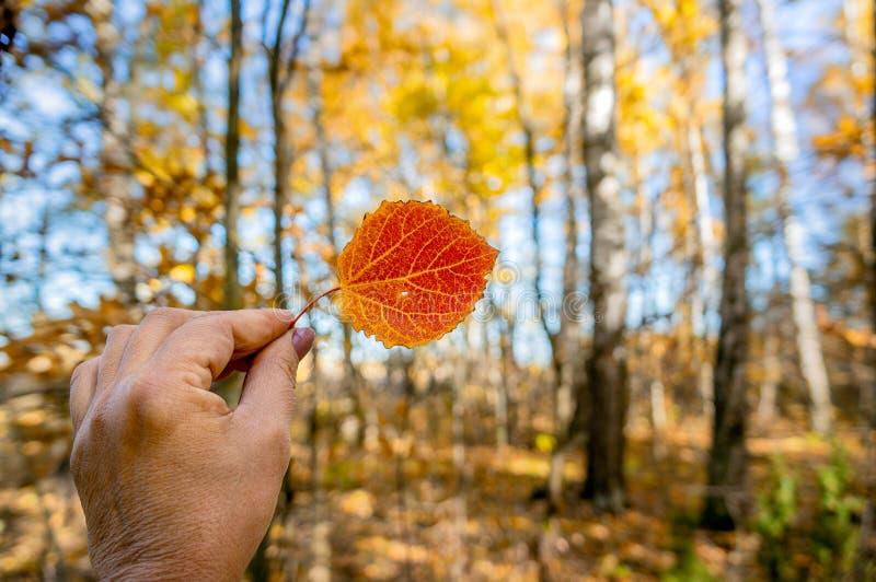 Hoja roja del álamo temblón del otoño hermoso en la mano de una mujer en el fondo de una foto grande del bosque en colores del ot fotos de archivo