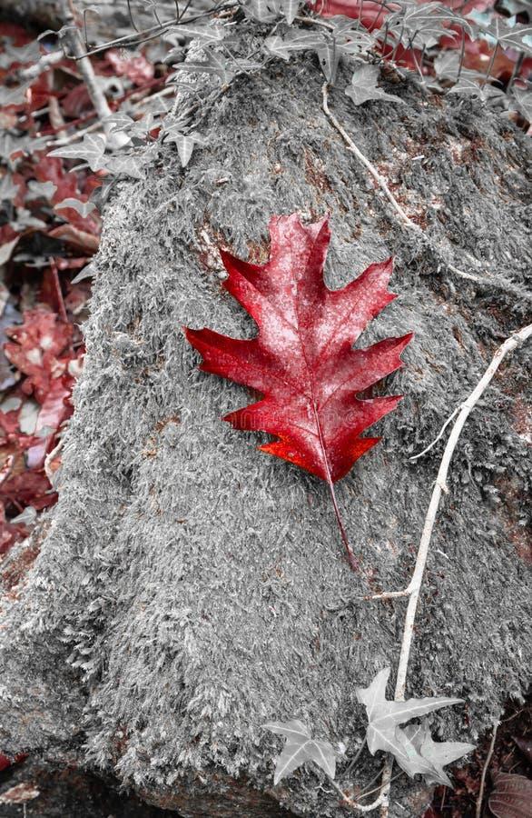 Hoja roja del roble hermoso que miente en roca con el musgo en color selectivo en paisaje del bosque del otoño foto de archivo