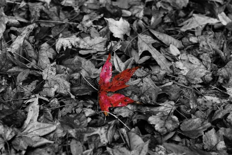 Hoja roja en el centro fotografía de archivo