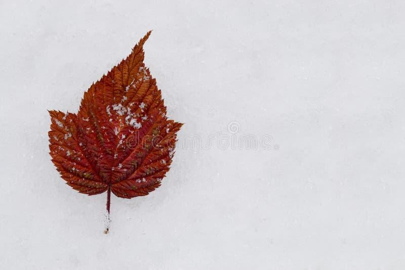 Hoja roja en la nieve fotos de archivo libres de regalías