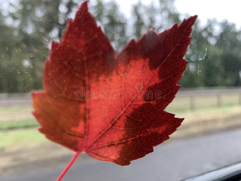Hoja roja en la ventanilla del coche fotos de archivo libres de regalías