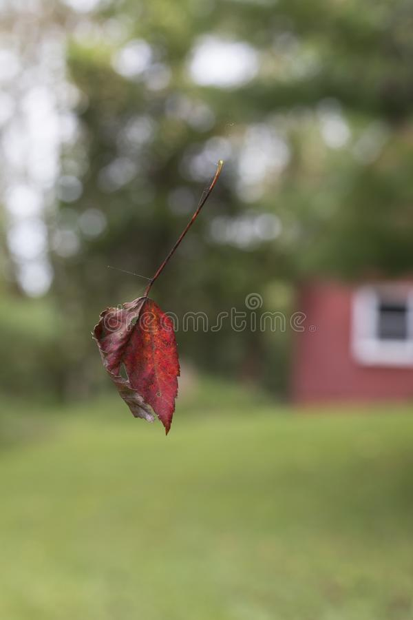 Hoja roja suspendida en web de araña imagen de archivo