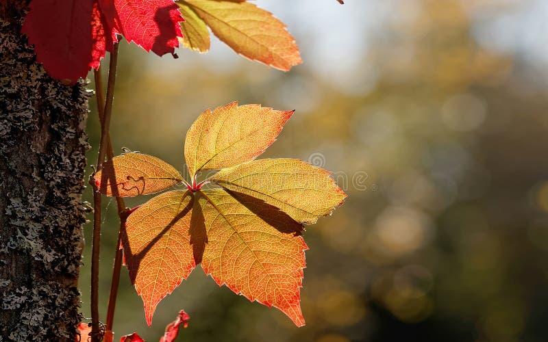 Hoja roja y amarilla conveniente como backgr de la pantalla panorámica del otoño imagen de archivo libre de regalías