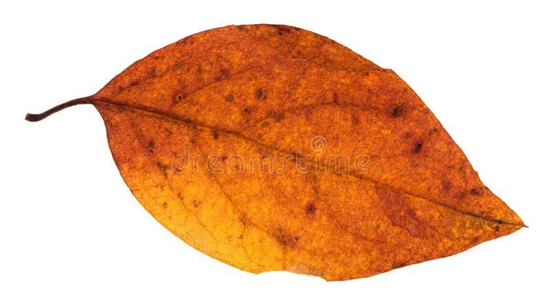 hoja roja y amarilla del otoño del árbol de álamo aislada fotos de archivo libres de regalías