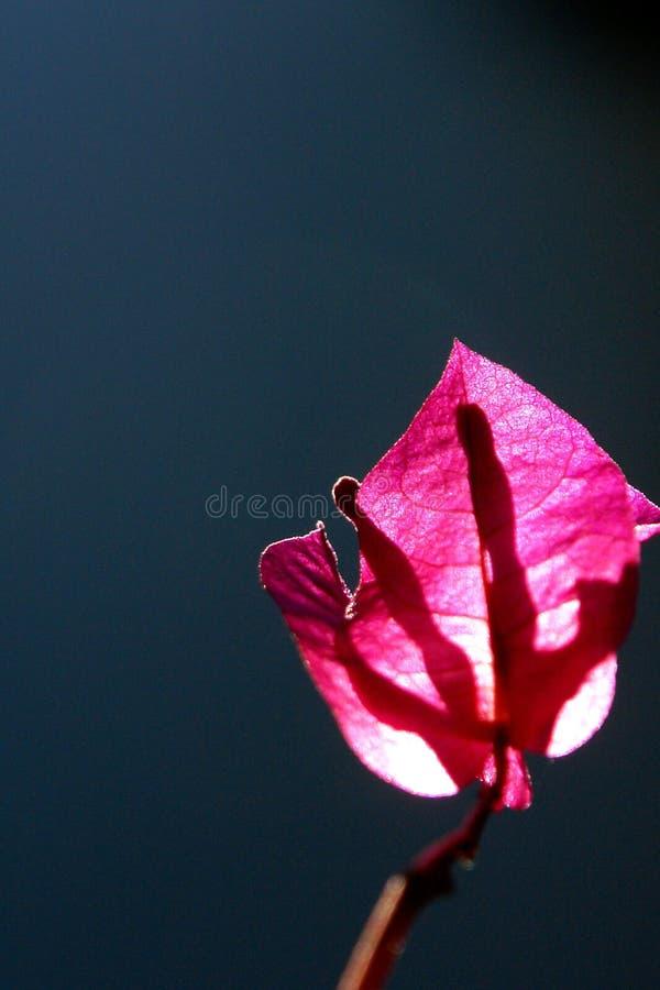 Download Hoja rosada imagen de archivo. Imagen de gris, pink - 100525485