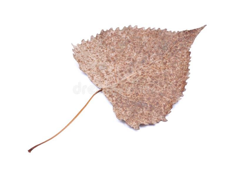 Hoja seca de Brown con el tallo largo imagen de archivo libre de regalías