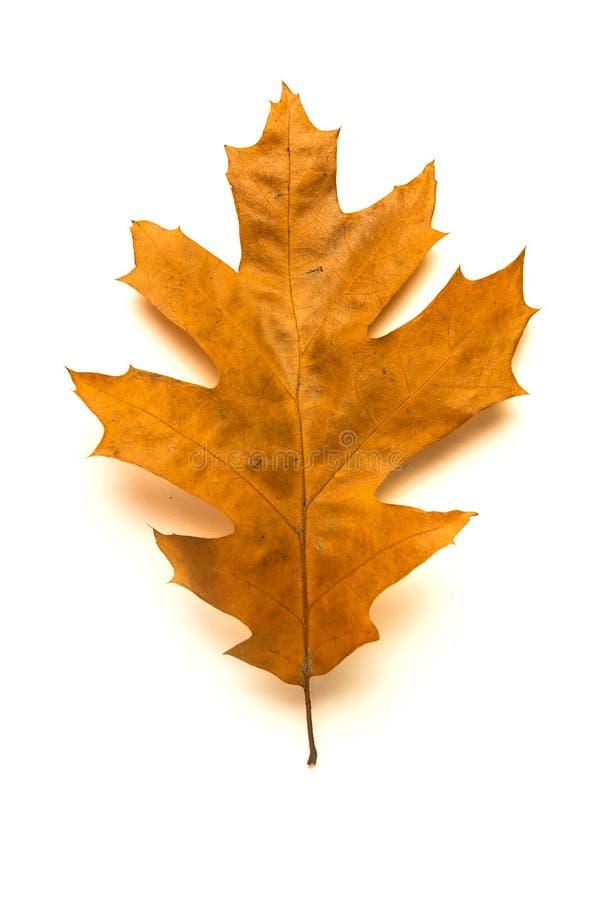 Hoja seca del roble del otoño encendido sobre blanco fotografía de archivo