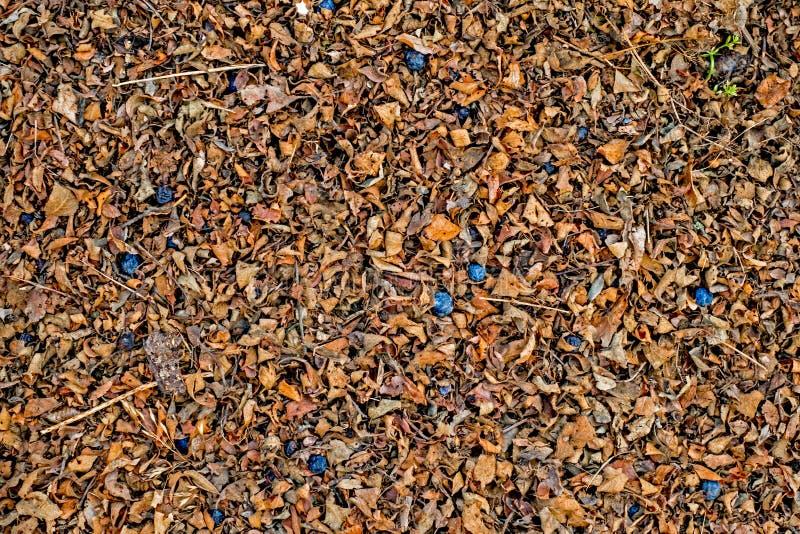 Hoja seca en la tierra con la haba de los endrinos fotografía de archivo libre de regalías