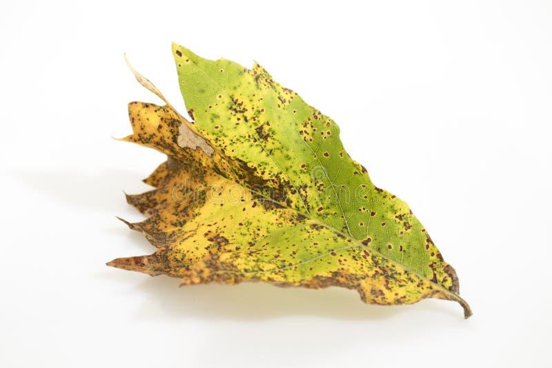 Hoja secada del otoño de un árbol de castaña por completo de detalles adentro fotos de archivo