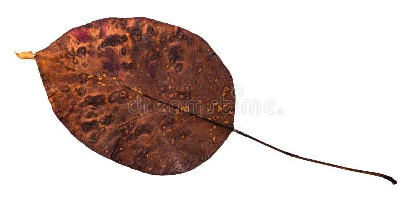 hoja secada putrefacta del peral aislada imágenes de archivo libres de regalías