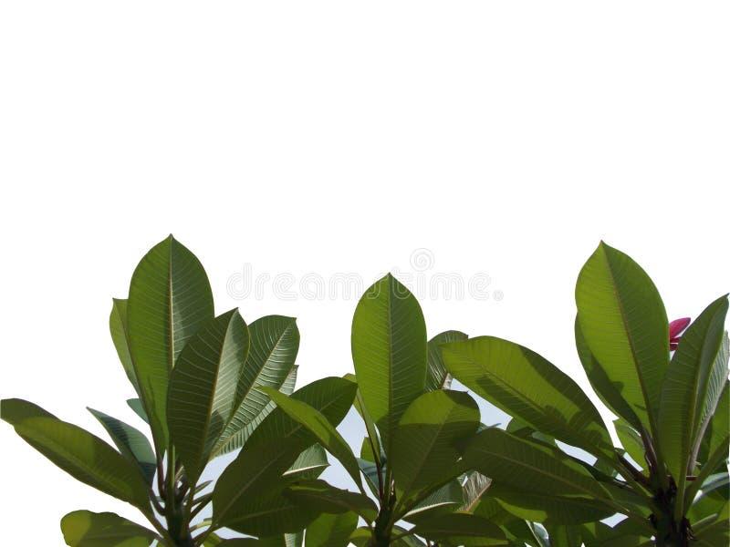 Hoja tropical con las ramas aisladas en los fondos blancos, follaje verde del árbol de la visión superior para el contexto stock de ilustración