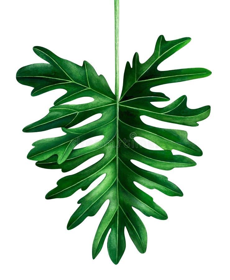 Hoja tropical de la acuarela aislada en el fondo blanco Ejemplo botánico de la hoja de Selloum del Philodendron stock de ilustración