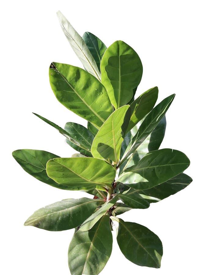 Hoja tropical del árbol aislada en el fondo blanco para el contexto verde del follaje flora, ambiente ilustración del vector