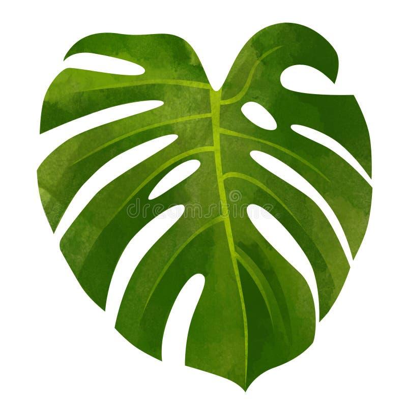 Hoja tropical del verde del monstera aislada en el fondo blanco imagen de archivo libre de regalías