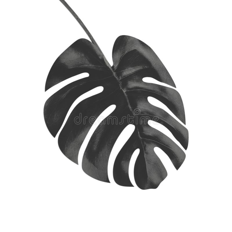 Hoja tropical negra de Monstera, aislada en el fondo blanco libre illustration