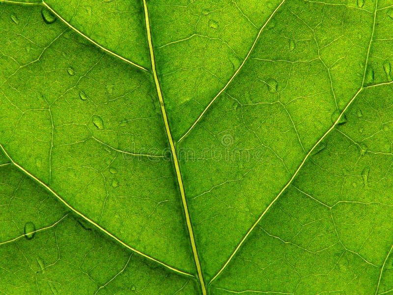 Hoja verde 2 foto de archivo libre de regalías