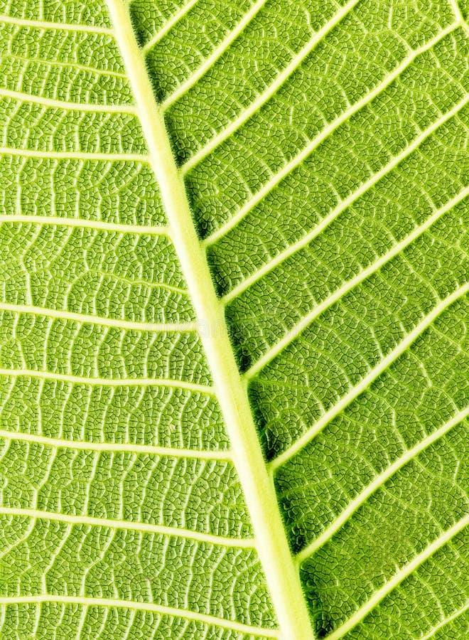 Download Hoja verde foto de archivo. Imagen de orgánico, ecología - 41903860