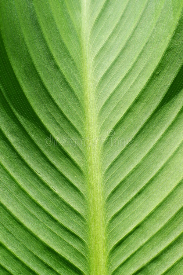 Download Hoja verde foto de archivo. Imagen de macro, fondo, modelo - 7279790