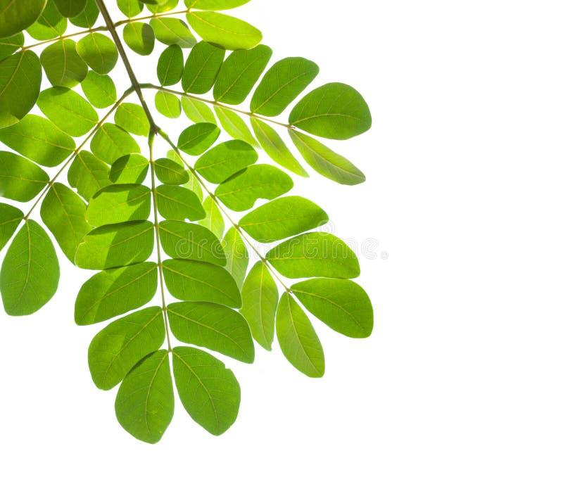 Hoja verde aislada en el fondo blanco fotos de archivo