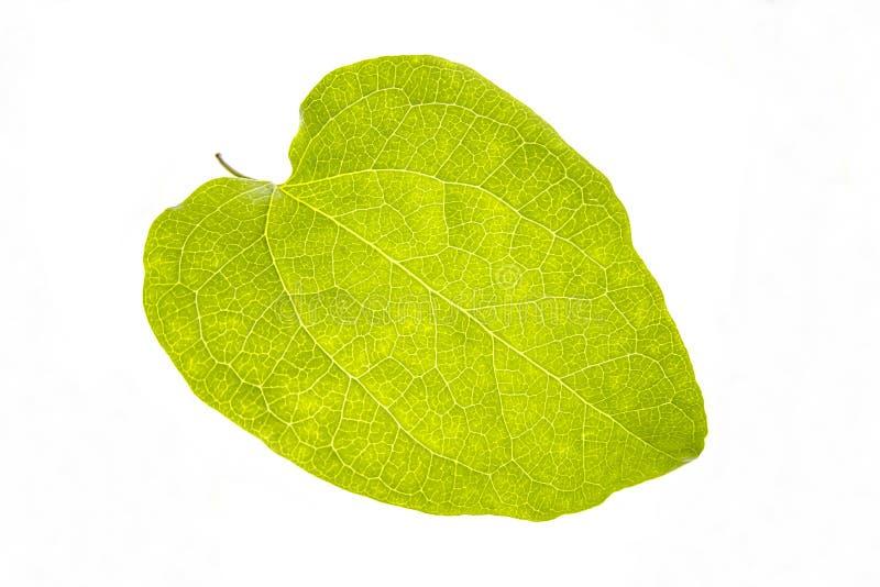 Hoja verde aislada en el fondo blanco - macro, cierre para arriba, textu fotos de archivo