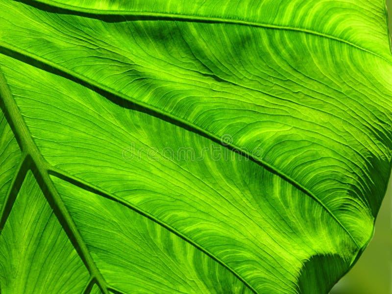 Hoja verde amplia fotos de archivo
