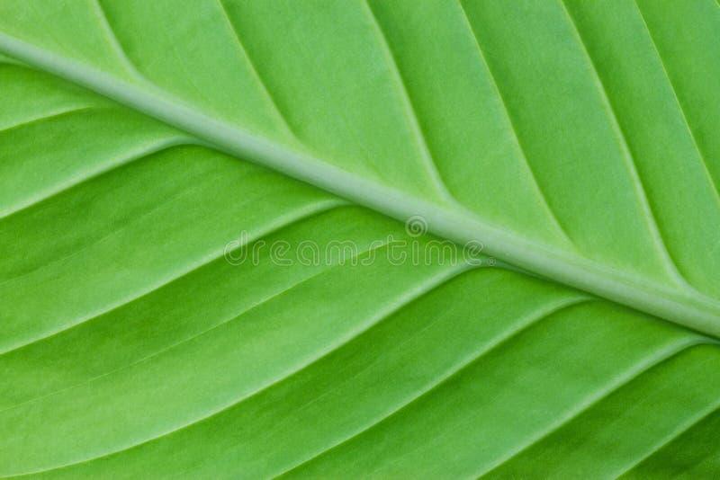 Hoja verde clara de un cierre de la planta para arriba fotografía de archivo libre de regalías