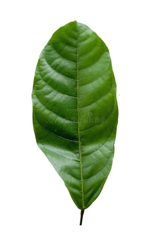 Hoja verde con el fondo blanco fotografía de archivo libre de regalías
