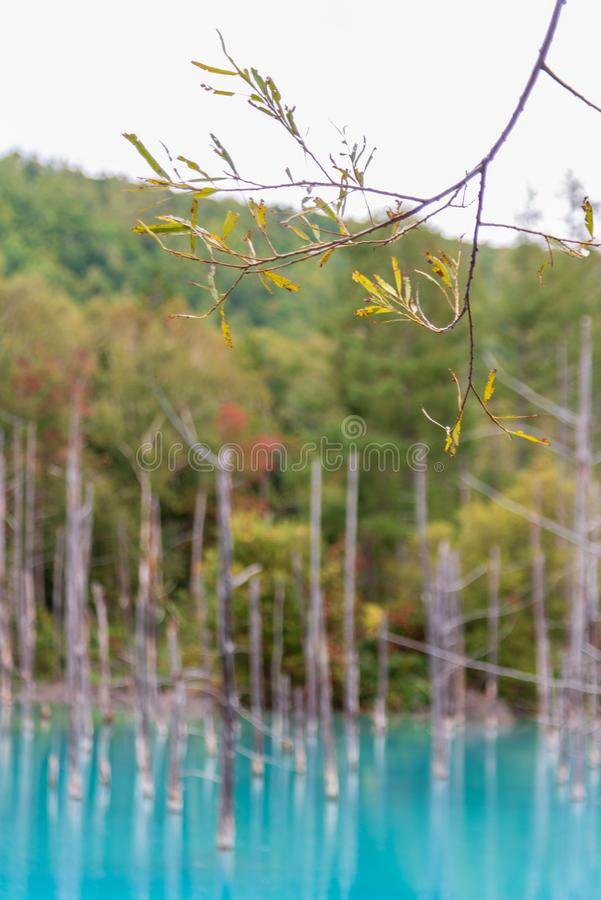 hoja verde con la charca azul del fondo en Biei, Hokkaido Japón fotos de archivo