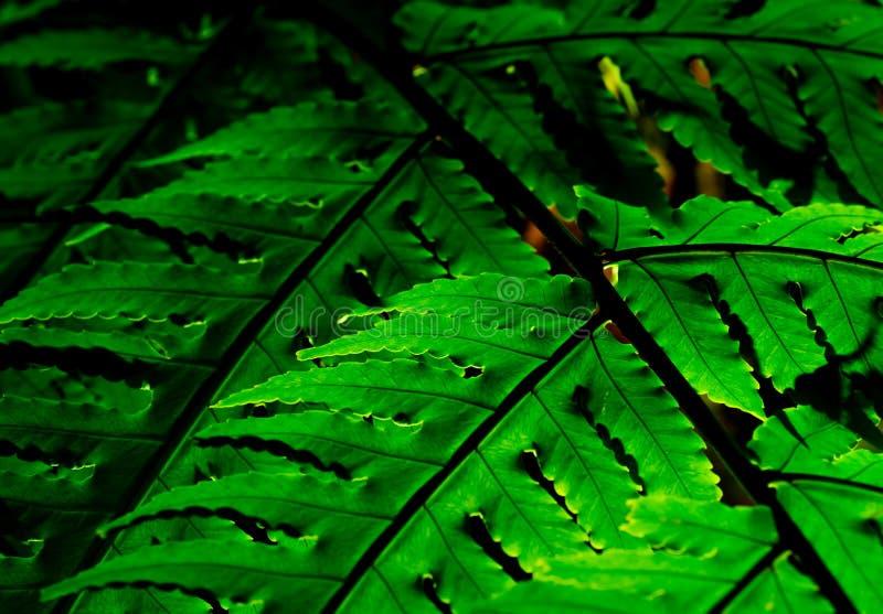 Hoja verde con luz del sol en fondo oscuro Fondo de la naturaleza Tiro macro de la textura de la hoja del helecho Hoja del helech fotografía de archivo