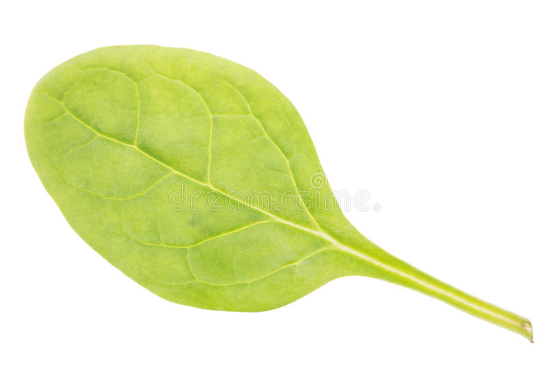 Hoja verde de la espinaca aislada en blanco fotografía de archivo libre de regalías