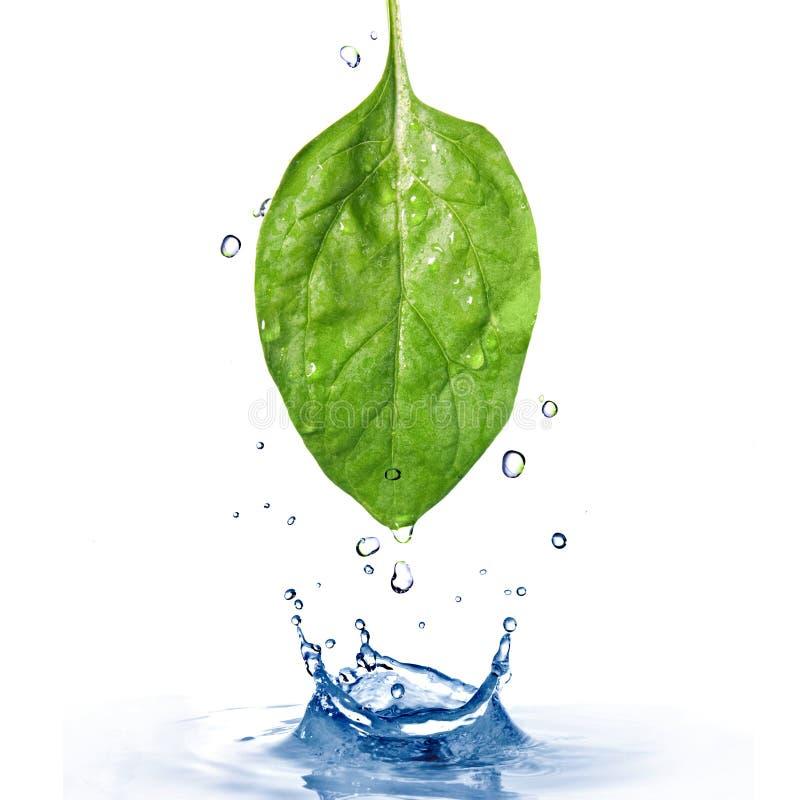 Hoja verde de la espinaca con gotas y chapoteo del agua imagen de archivo