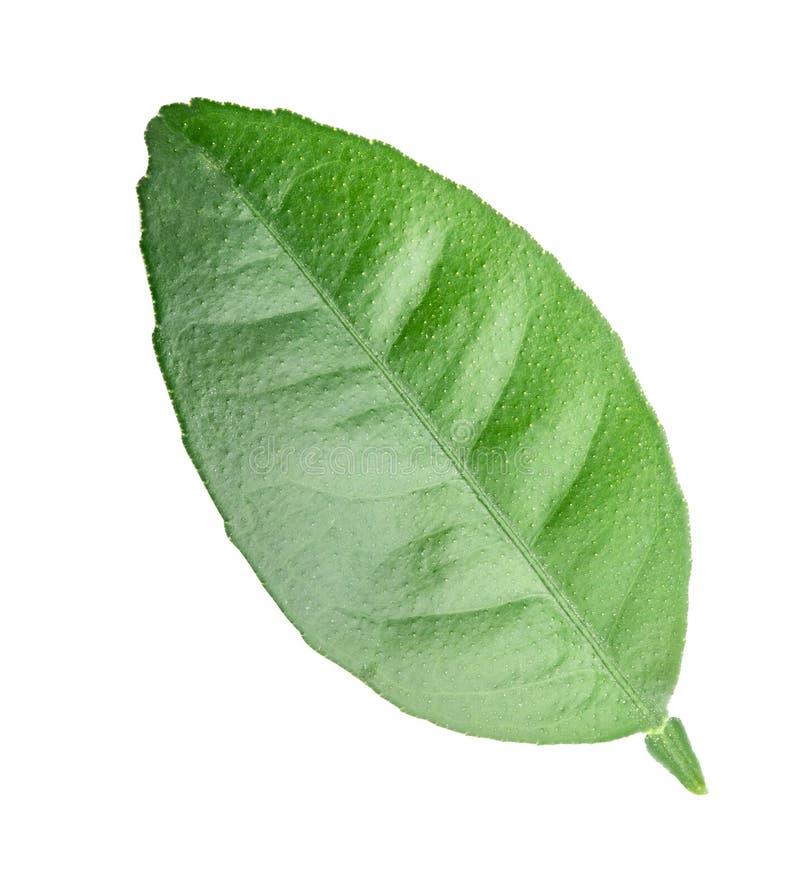 Hoja verde de la fruta cítrica aislada en el fondo blanco fotografía de archivo