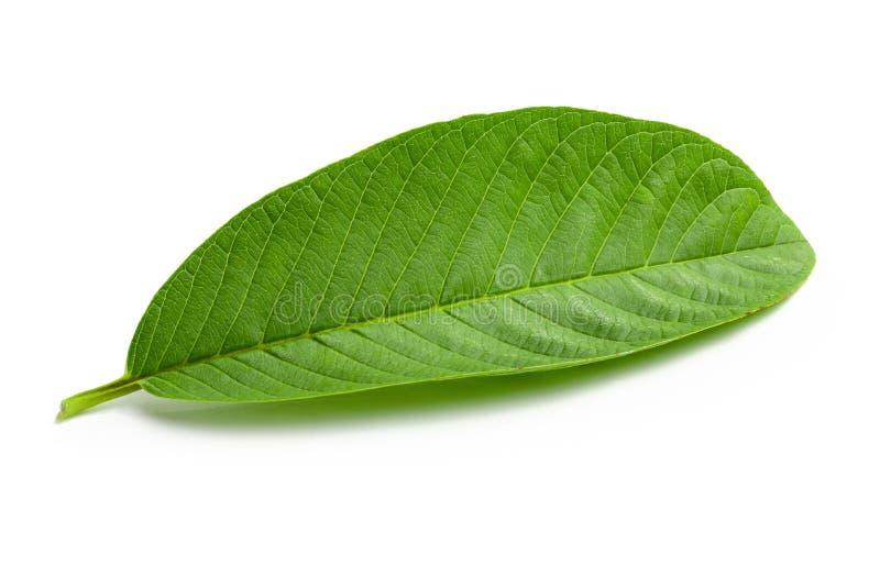 Hoja verde de la guayaba aislada sobre el fondo blanco imagenes de archivo