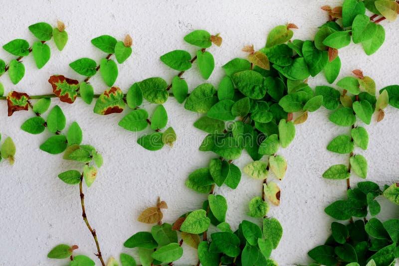 Hoja verde de la hiedra en el muro de cemento blanco imagen de archivo