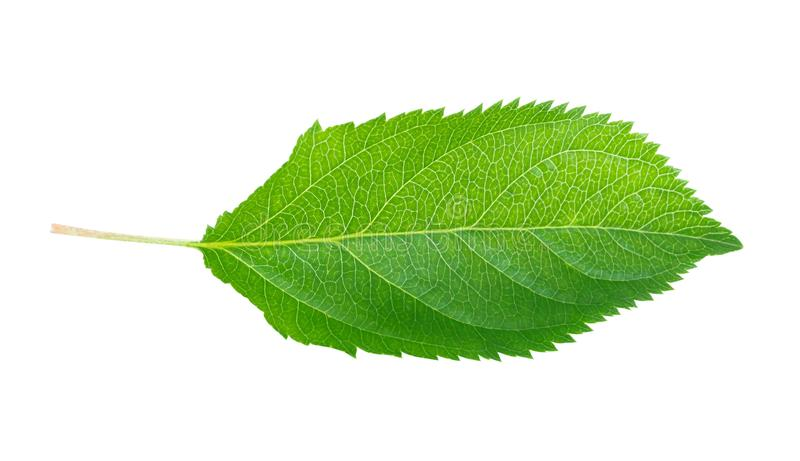 Hoja verde de la manzana aislada en el fondo blanco, trayectoria de recortes imagen de archivo libre de regalías