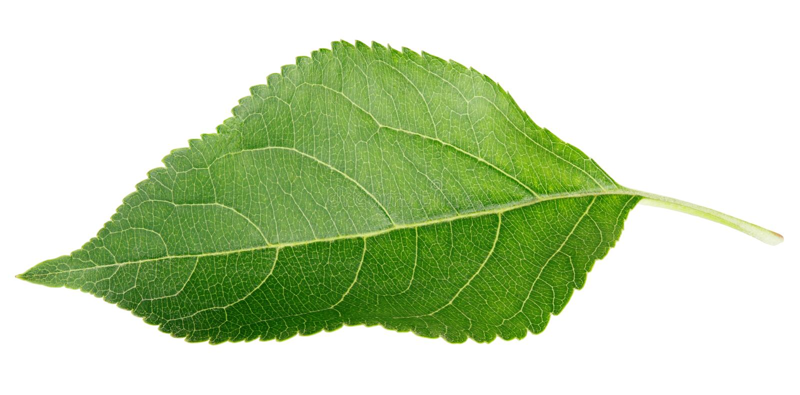 Hoja verde de la manzana en blanco imagen de archivo