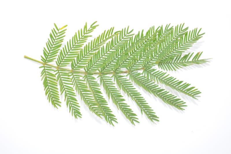 Hoja verde de la planta en la naturaleza blanca Forest Park de la botánica del fondo fotos de archivo libres de regalías
