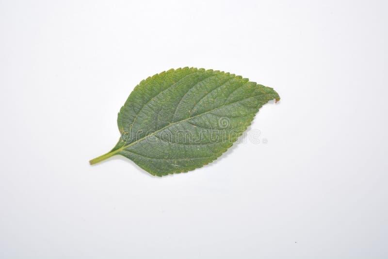 Hoja verde de la planta en la naturaleza blanca Forest Park de la botánica del fondo imagen de archivo