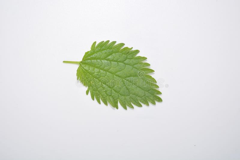 Hoja verde de la planta en la naturaleza blanca Forest Park de la botánica del fondo fotos de archivo