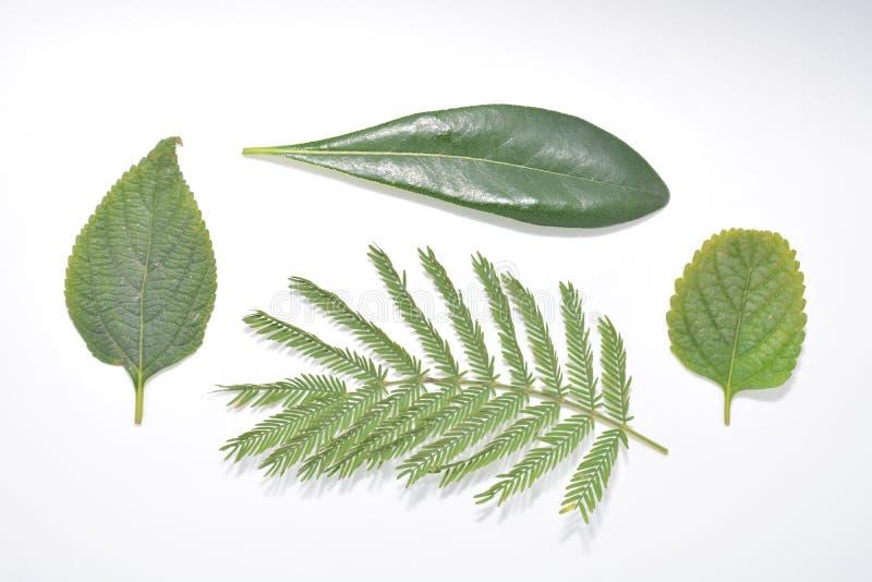 Hoja verde de la planta en la naturaleza blanca Forest Park de la botánica del fondo imagen de archivo libre de regalías