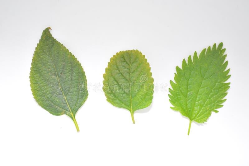 Hoja verde de la planta en la naturaleza blanca Forest Park de la botánica del fondo imagenes de archivo