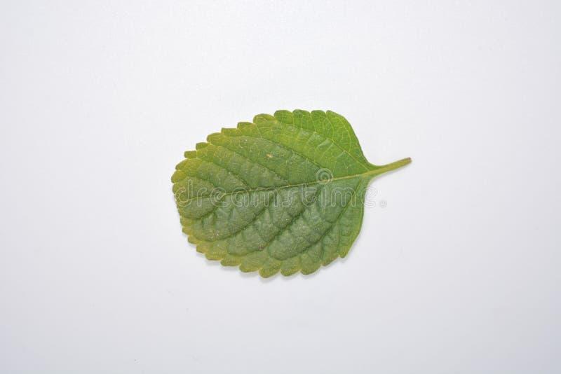 Hoja verde de la planta en la naturaleza blanca Forest Park de la botánica del fondo foto de archivo