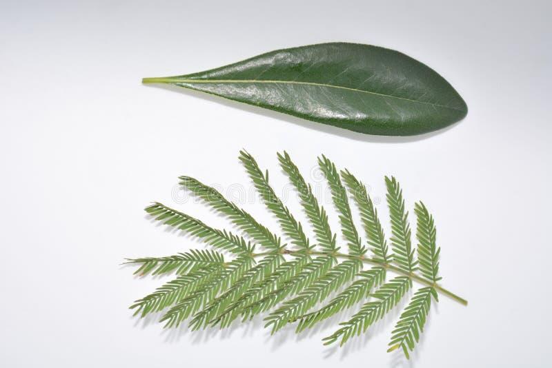 Hoja verde de la planta en la naturaleza blanca Forest Park de la botánica del fondo imágenes de archivo libres de regalías